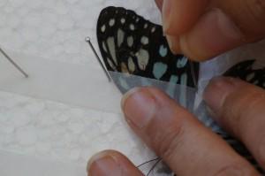 akemi_oshiro_butterfly